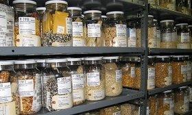 Из России вывозят коллекцию семян Вавилова